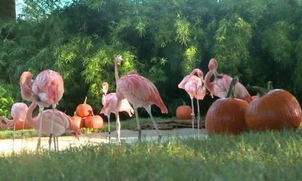 Flamingos_at_Pumpkin_Patch_HLmxFe.jpg