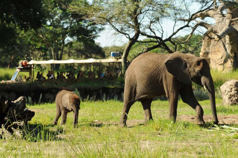 Elephant Calf Born at Disney's Animal Kingdom