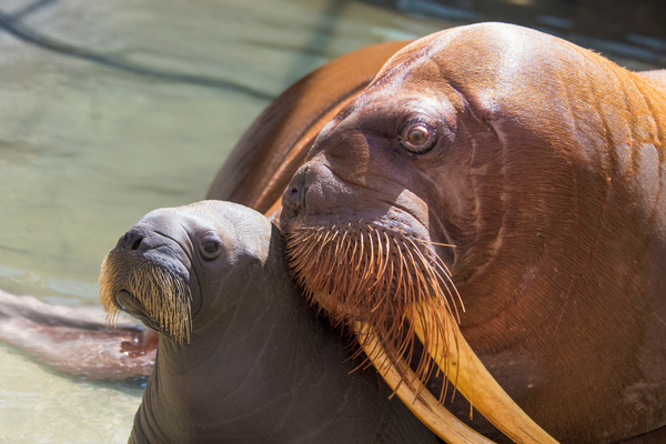 First Walrus Calf In Park History In Seaworld Orlando Orlando Tickets Hotels Packages